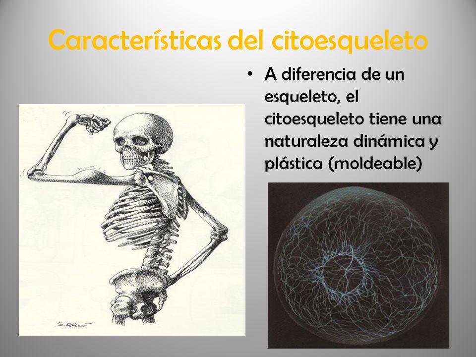 Características del citoesqueleto