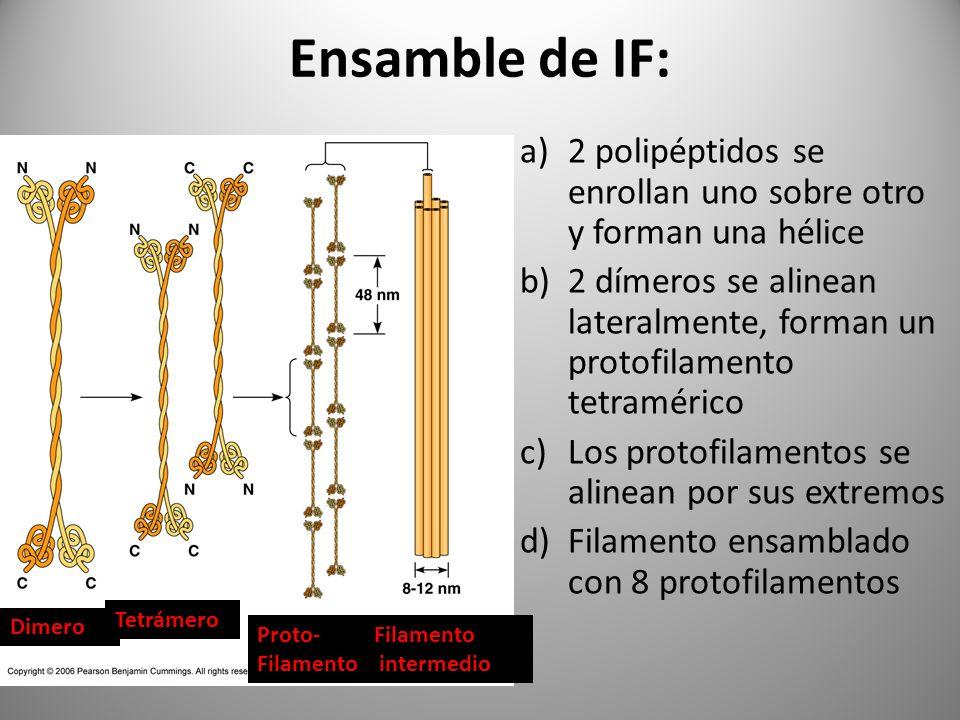 Ensamble de IF:2 polipéptidos se enrollan uno sobre otro y forman una hélice.