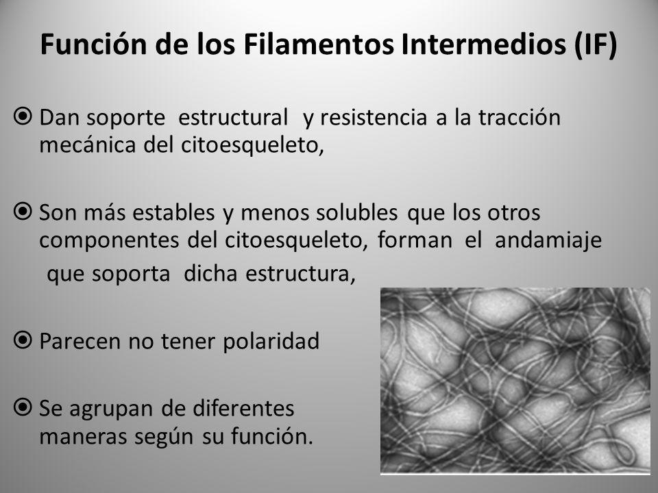 Función de los Filamentos Intermedios (IF)