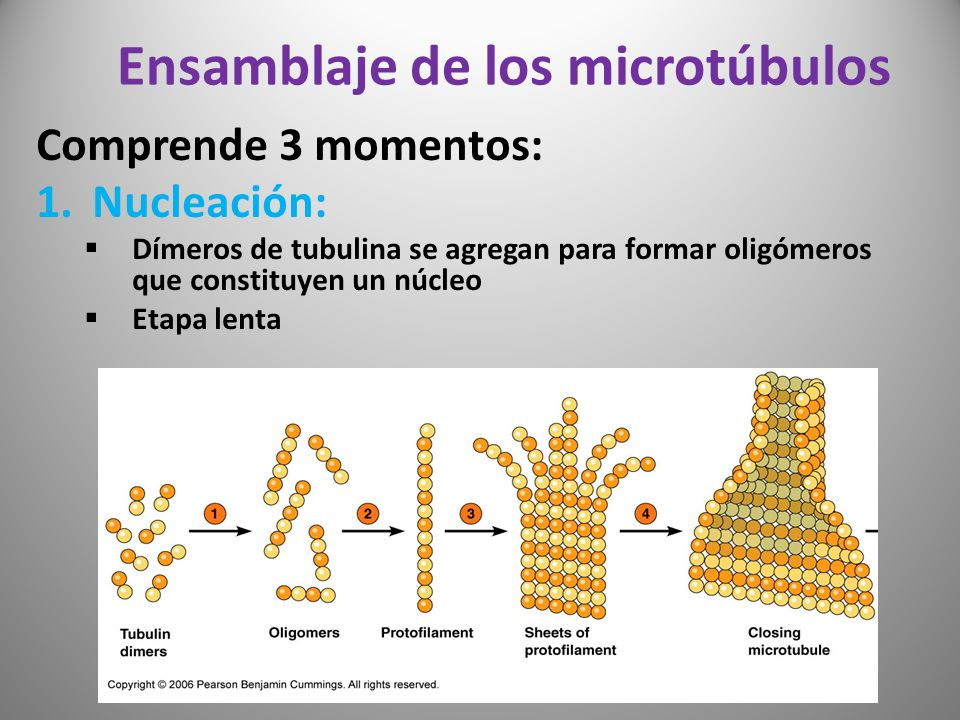 Ensamblaje de los microtúbulos