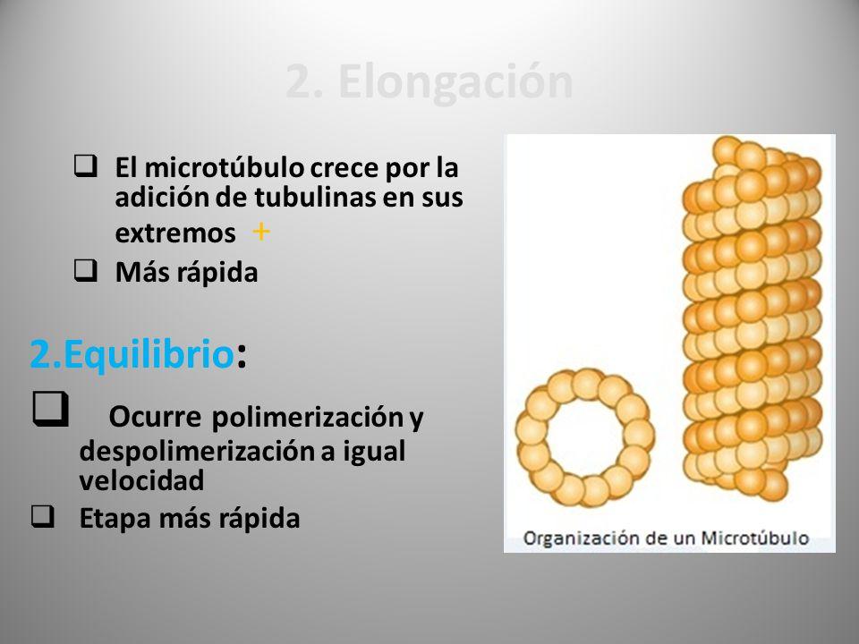 2. Elongación El microtúbulo crece por la adición de tubulinas en sus extremos + Más rápida. 2.Equilibrio: