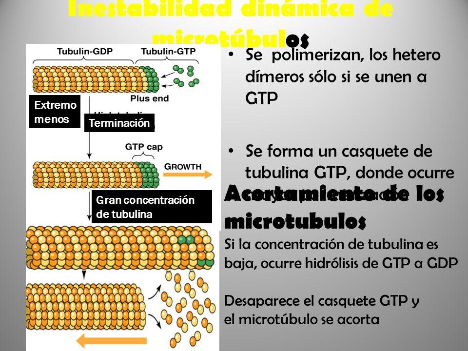Inestabilidad dinámica de microtúbulos