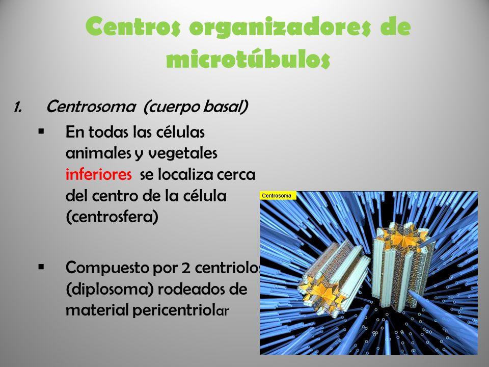 Centros organizadores de microtúbulos