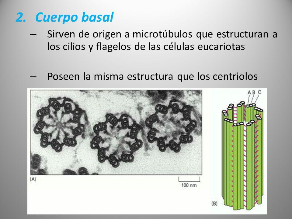 Cuerpo basalSirven de origen a microtúbulos que estructuran a los cilios y flagelos de las células eucariotas.
