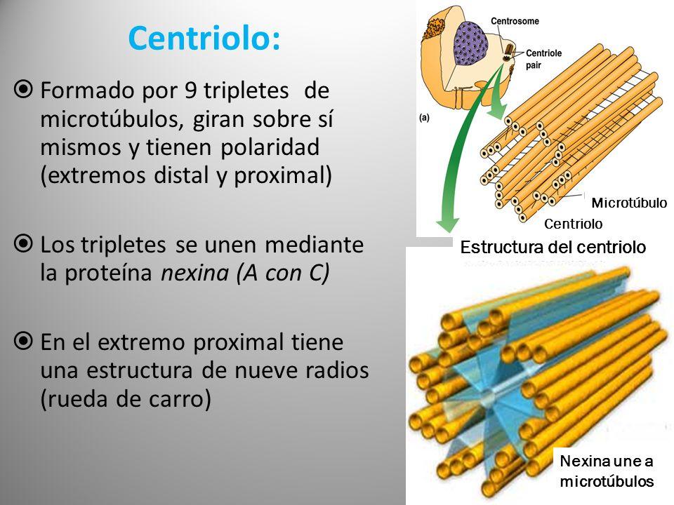 Centriolo:Formado por 9 tripletes de microtúbulos, giran sobre sí mismos y tienen polaridad (extremos distal y proximal)