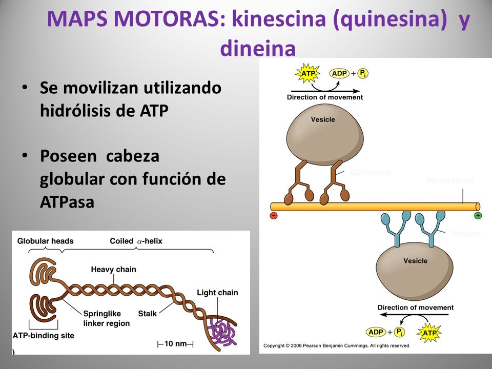 MAPS MOTORAS: kinescina (quinesina) y dineina