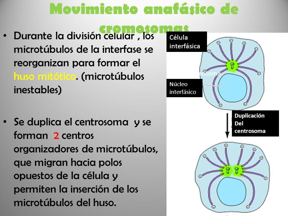 Movimiento anafásico de cromosomas