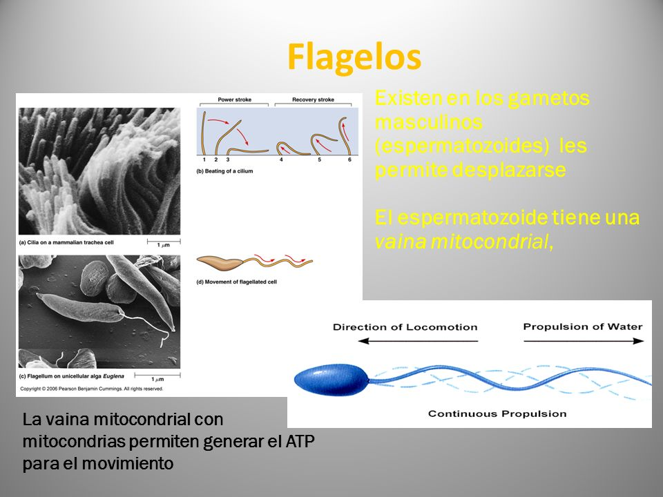 Flagelos Existen en los gametos masculinos (espermatozoides) les permite desplazarse. El espermatozoide tiene una vaina mitocondrial,