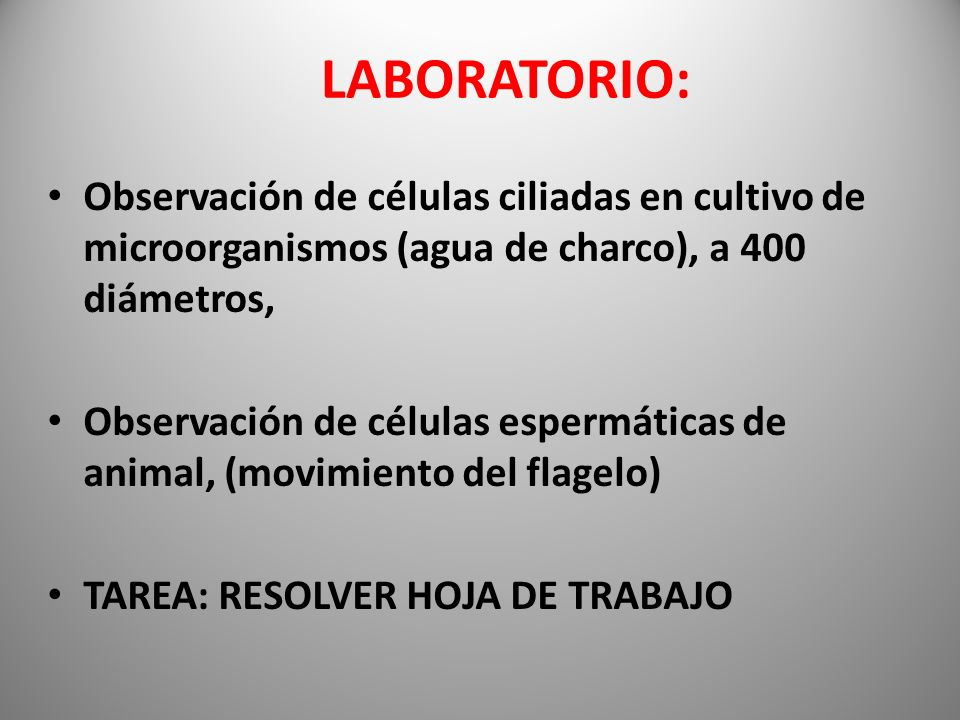 LABORATORIO: Observación de células ciliadas en cultivo de microorganismos (agua de charco), a 400 diámetros,