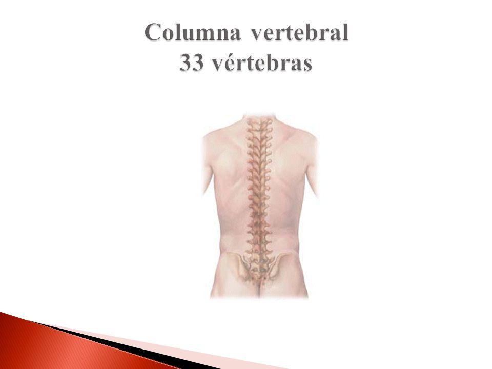 Columna vertebral 33 vértebras