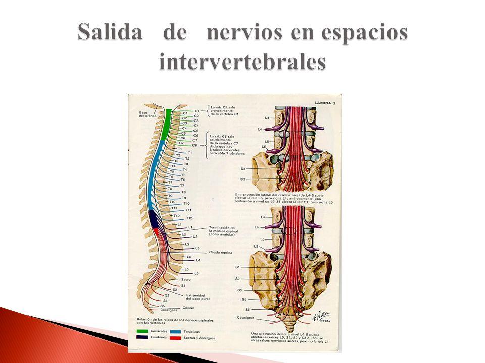 Salida de nervios en espacios intervertebrales