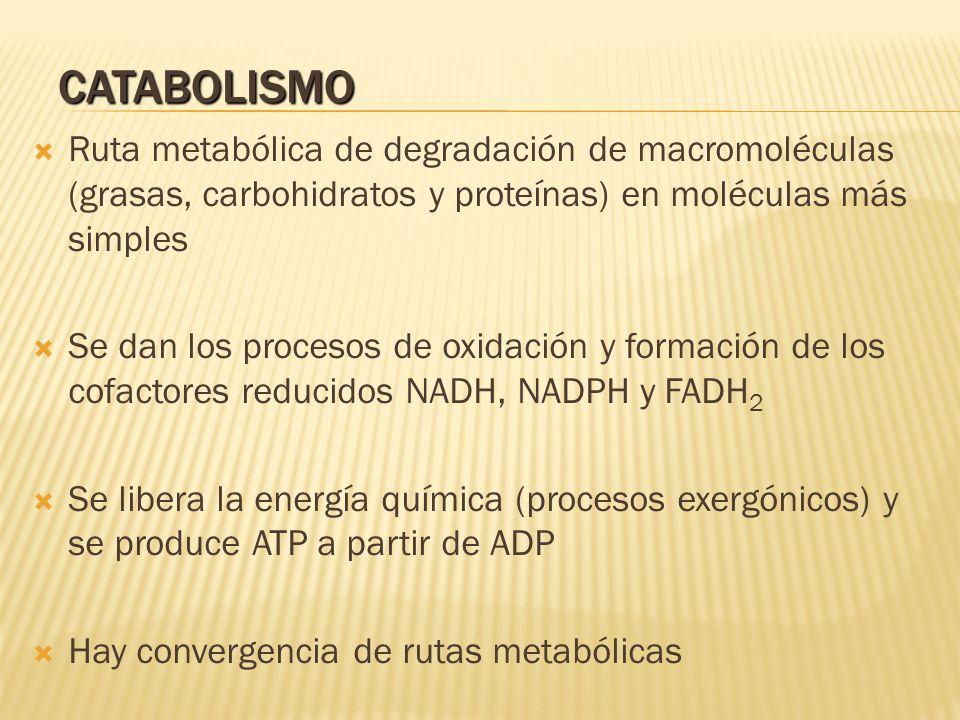 CATABOLISMO Ruta metabólica de degradación de macromoléculas (grasas, carbohidratos y proteínas) en moléculas más simples.