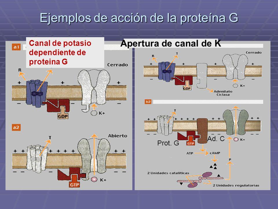 Ejemplos de acción de la proteína G