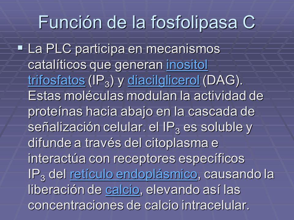 Función de la fosfolipasa C