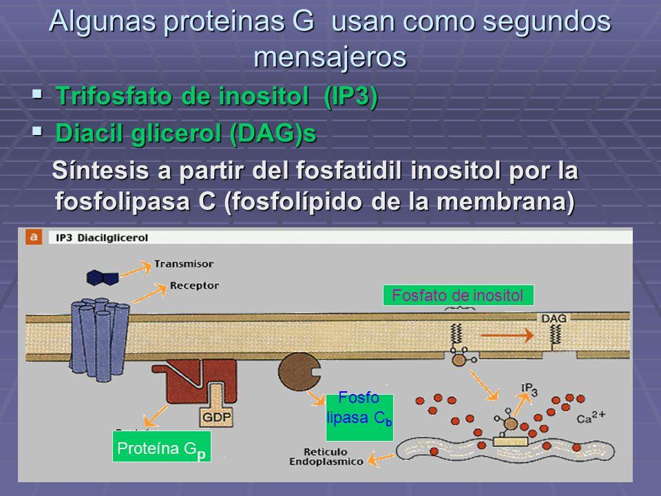 Algunas proteinas G usan como segundos mensajeros