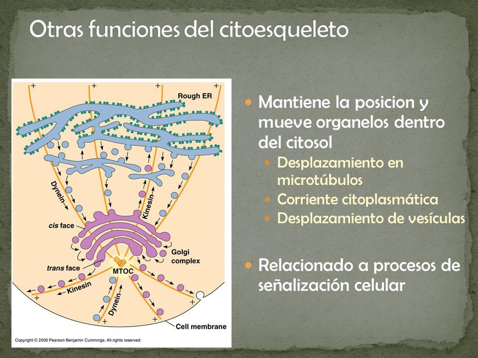 Otras funciones del citoesqueleto