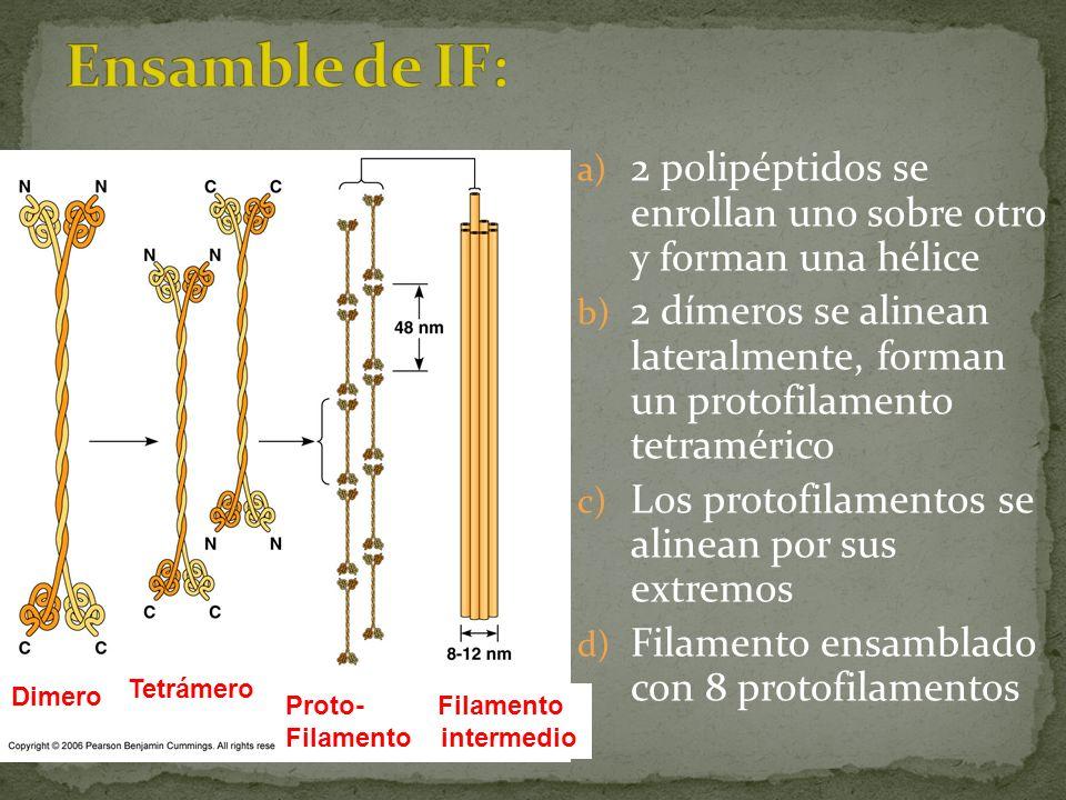 Ensamble de IF: 2 polipéptidos se enrollan uno sobre otro y forman una hélice.