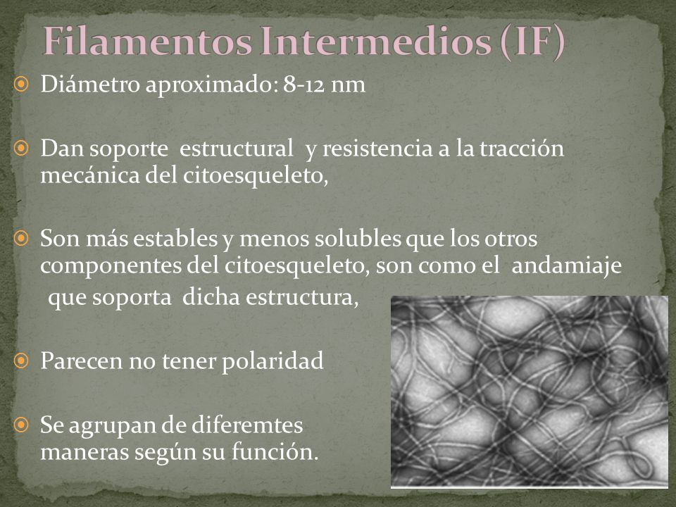 Filamentos Intermedios (IF)