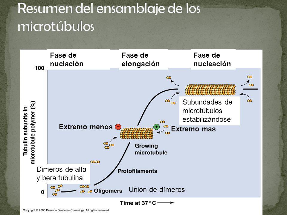 Resumen del ensamblaje de los microtúbulos