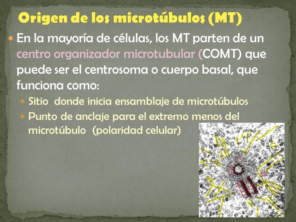 Origen de los microtúbulos (MT)