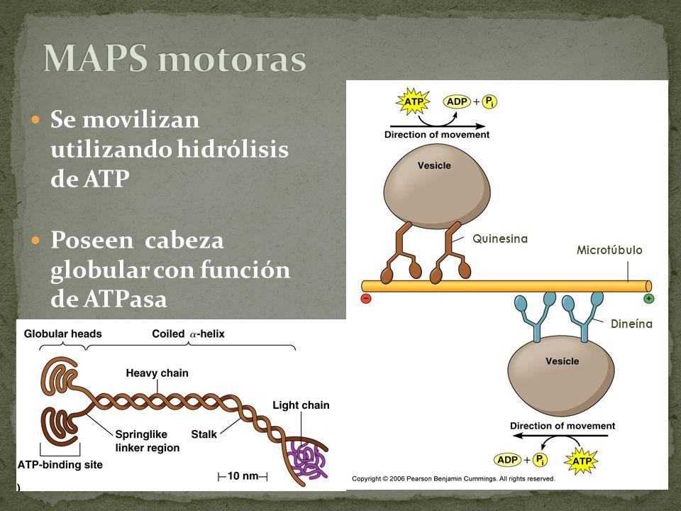 MAPS motoras Se movilizan utilizando hidrólisis de ATP