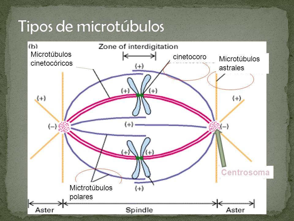 Tipos de microtúbulos Centrosoma Microtúbulos cinetocóricos cinetocoro