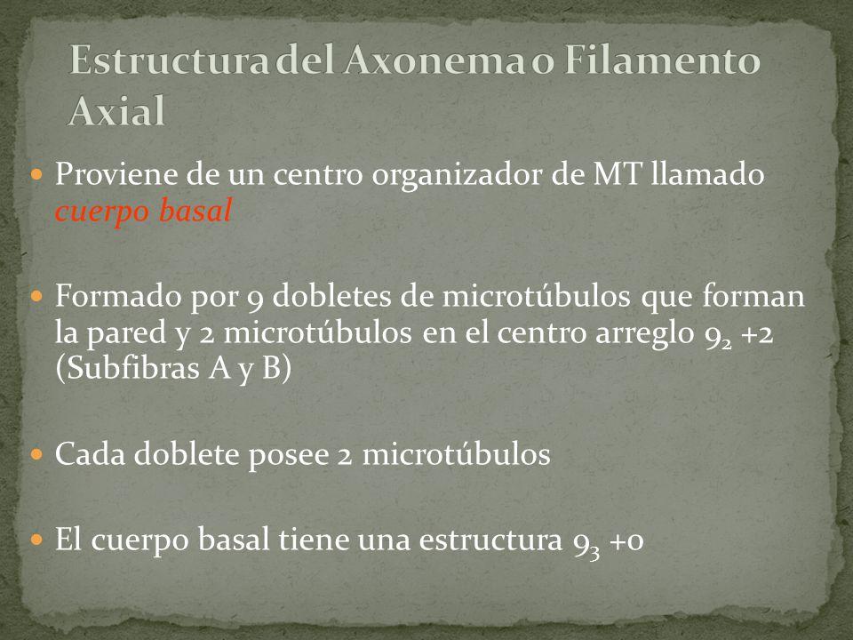 Estructura del Axonema o Filamento Axial