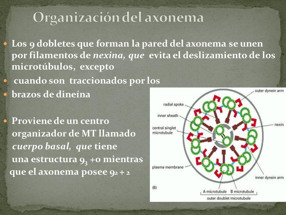 Organización del axonema
