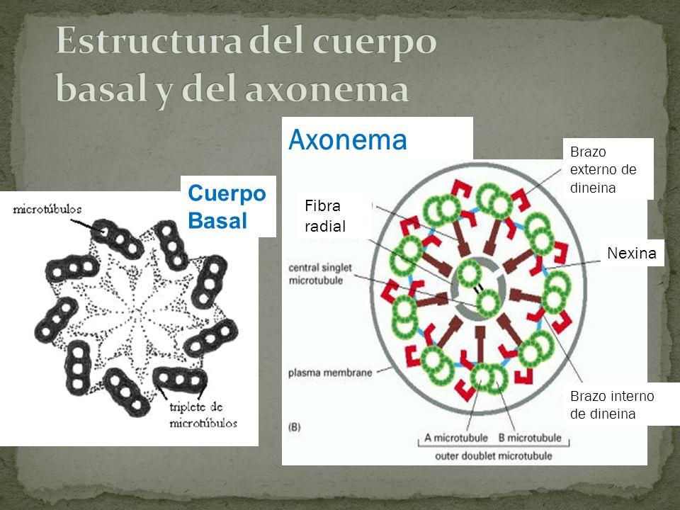 Estructura del cuerpo basal y del axonema