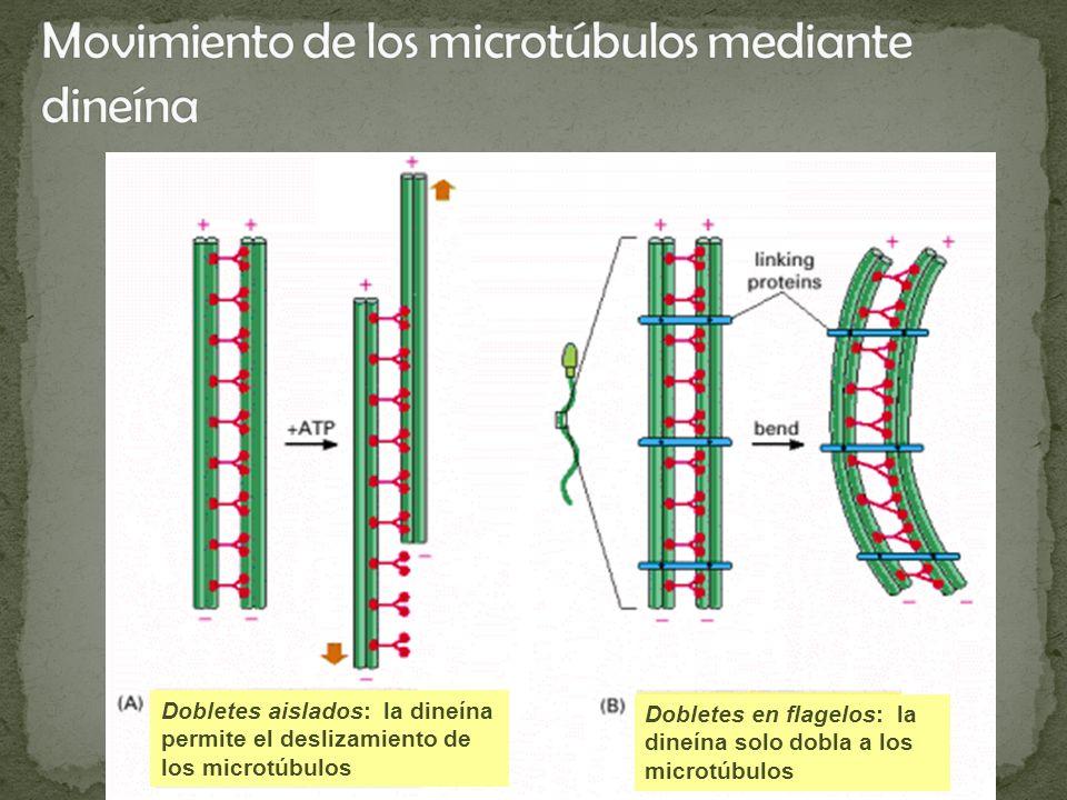 Movimiento de los microtúbulos mediante dineína