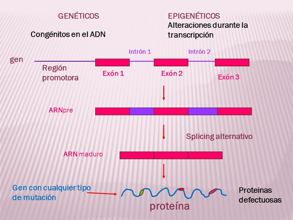 proteína GENÉTICOS EPIGENÉTICOS Alteraciones durante la transcripción