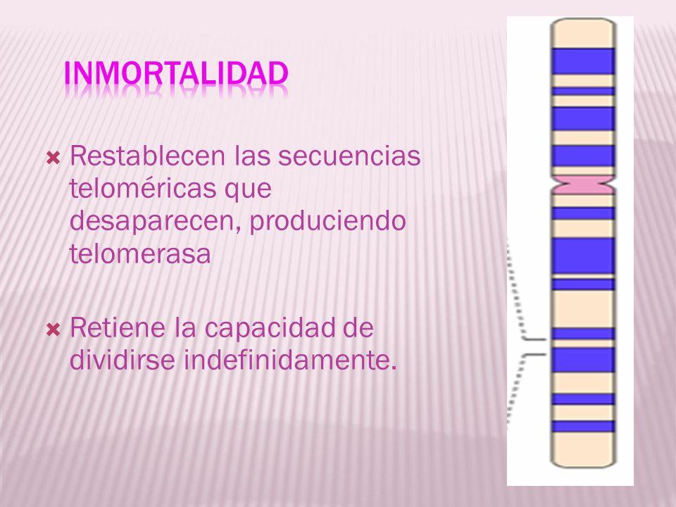 InmortalidadRestablecen las secuencias teloméricas que desaparecen, produciendo telomerasa.