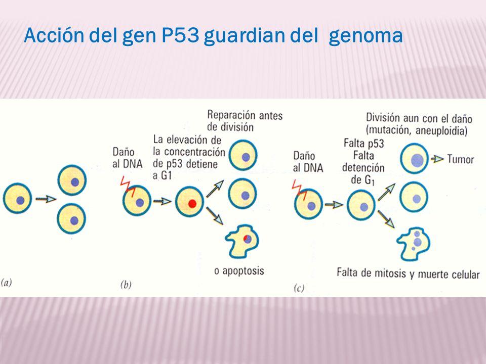 Acción del gen P53 guardian del genoma