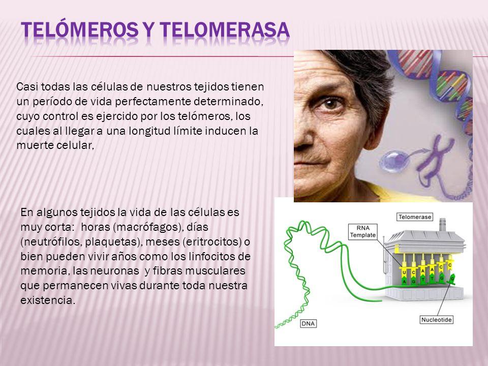 Telómeros y telomerasa