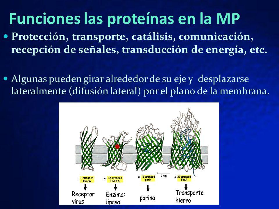 Funciones las proteínas en la MP
