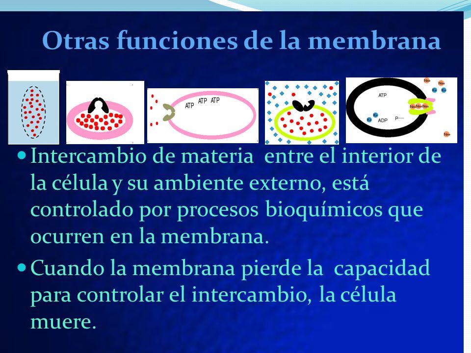 Otras funciones de la membrana