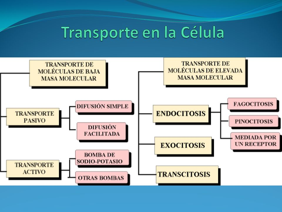 Transporte en la Célula