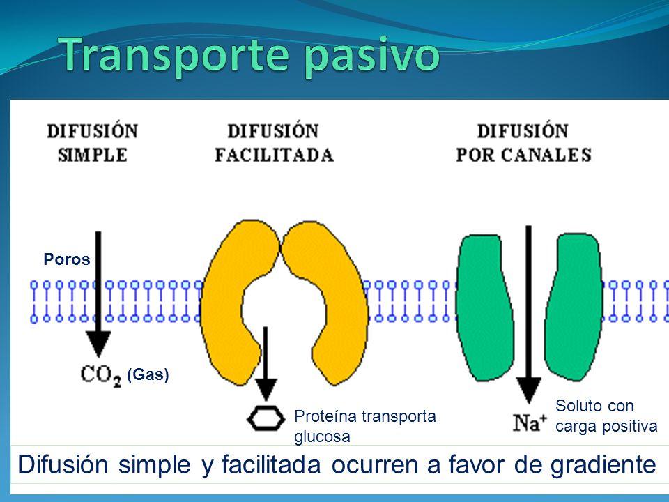 Transporte pasivo Poros. (Gas) Soluto con carga positiva. Proteína transporta. glucosa.