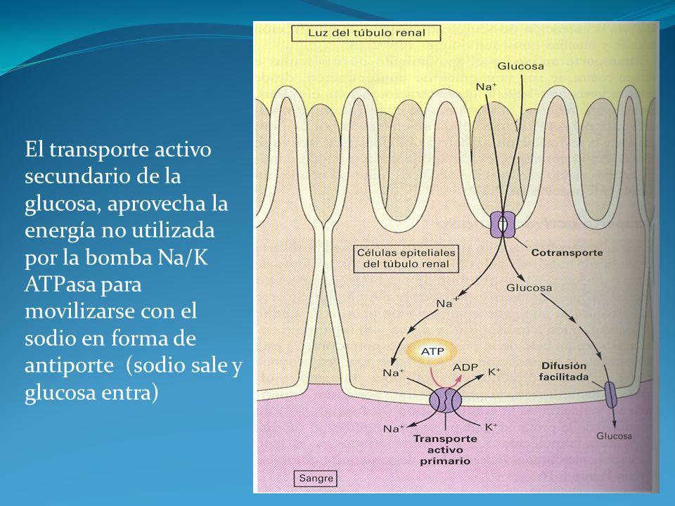 El transporte activo secundario de la glucosa, aprovecha la energía no utilizada por la bomba Na/K ATPasa para movilizarse con el sodio en forma de antiporte (sodio sale y glucosa entra)
