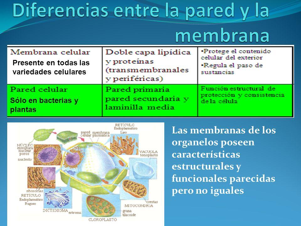 Diferencias entre la pared y la membrana