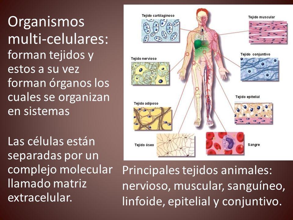 Organismos multi-celulares: forman tejidos y estos a su vez forman órganos los cuales se organizan en sistemas