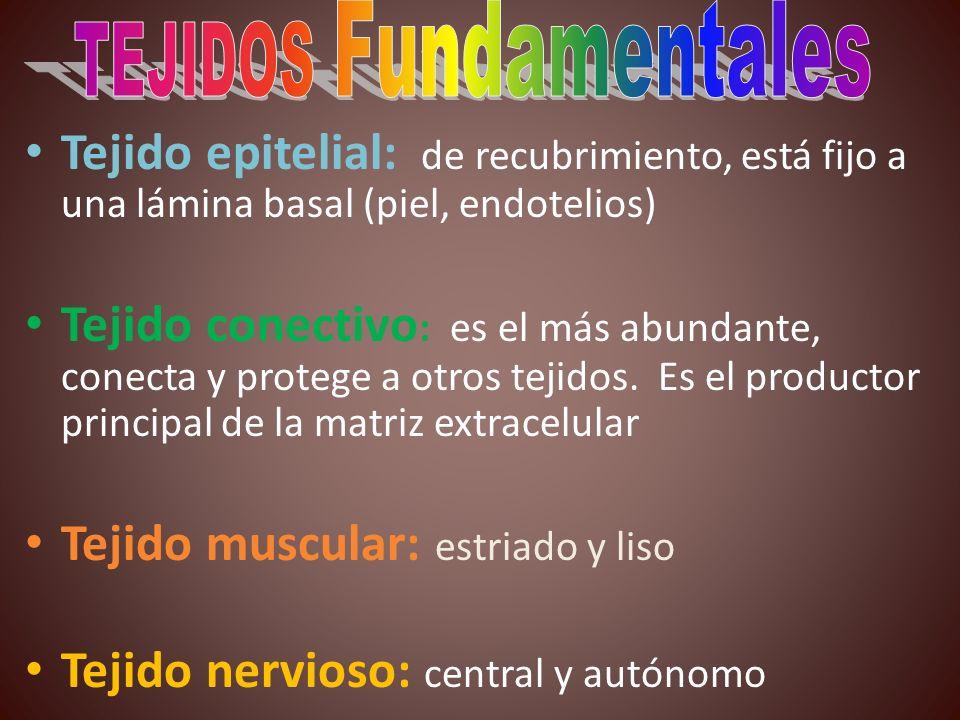 TEJIDOS Fundamentales