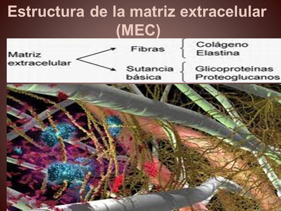 Estructura de la matriz extracelular