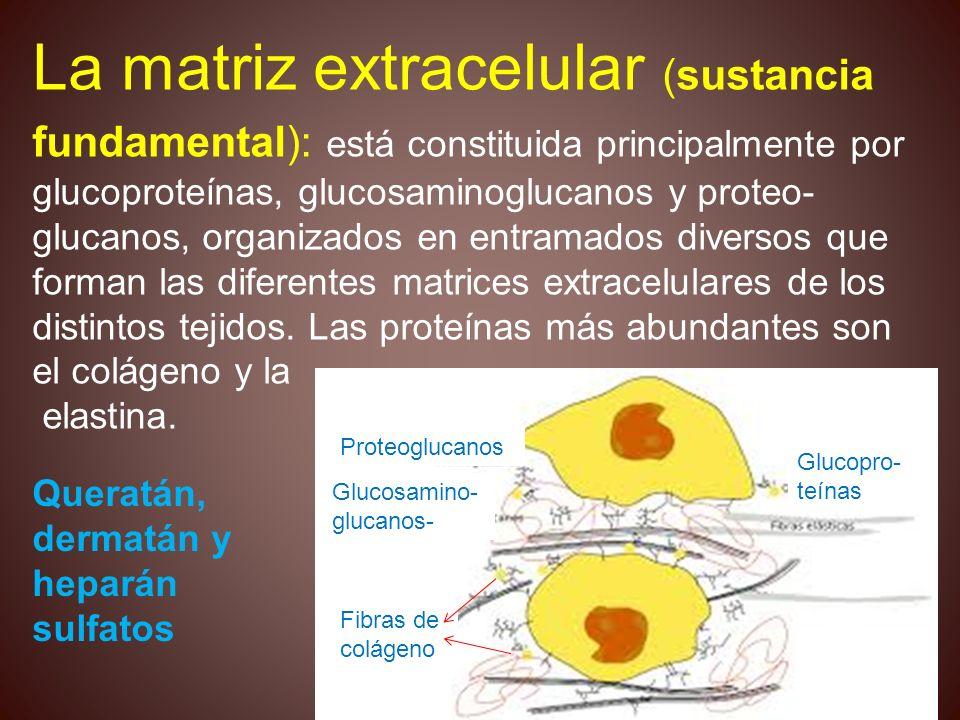 La matriz extracelular (sustancia fundamental): está constituida principalmente por glucoproteínas, glucosaminoglucanos y proteo- glucanos, organizados en entramados diversos que forman las diferentes matrices extracelulares de los distintos tejidos. Las proteínas más abundantes son el colágeno y la