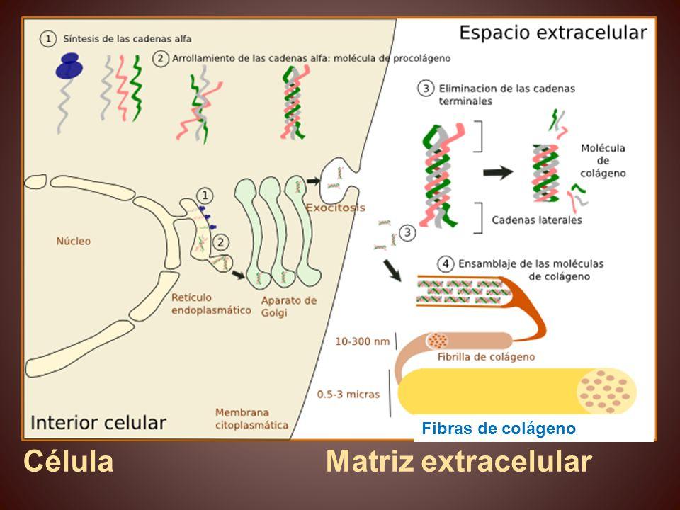 Célula Matriz extracelular