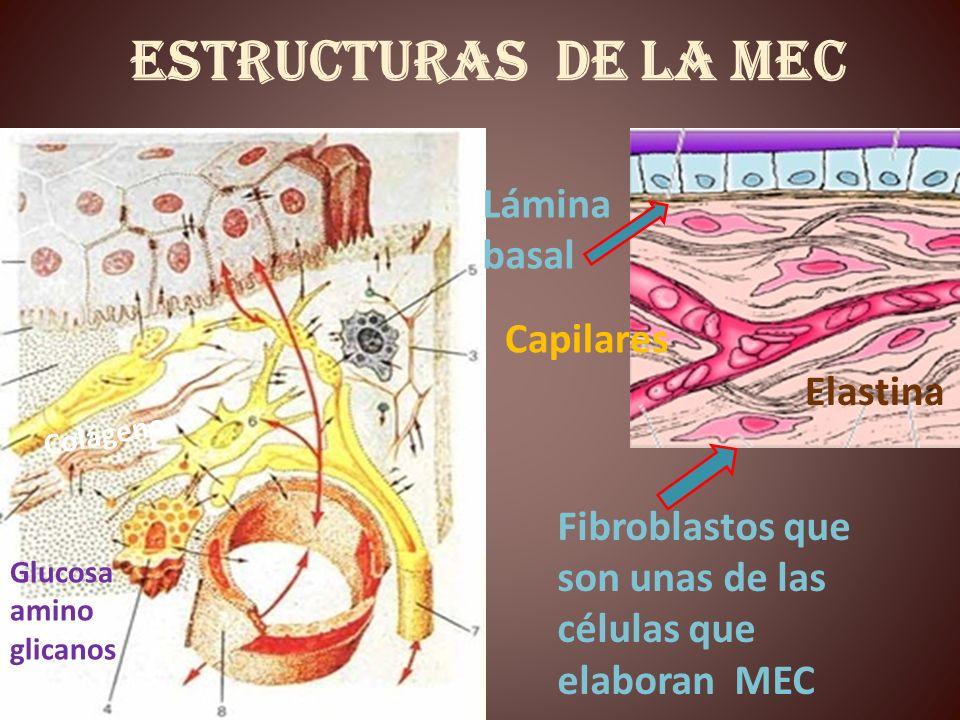 Estructuras de la MEC Lámina basal Capilares Elastina