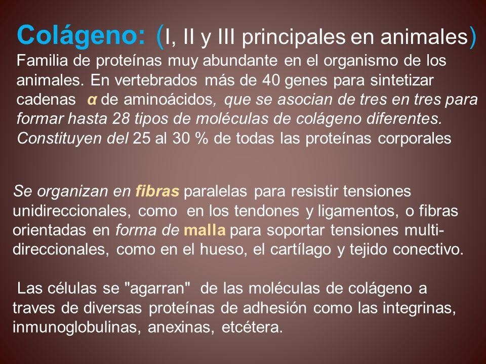 Colágeno: (I, II y III principales en animales)