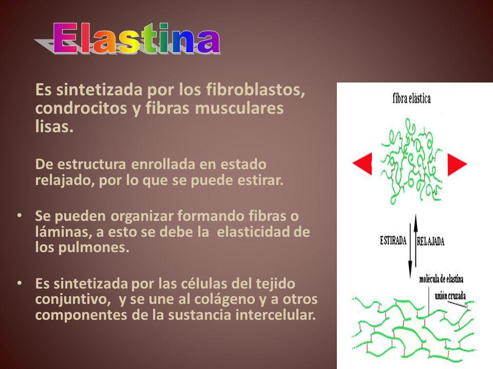 Elastina Es sintetizada por los fibroblastos, condrocitos y fibras musculares lisas.