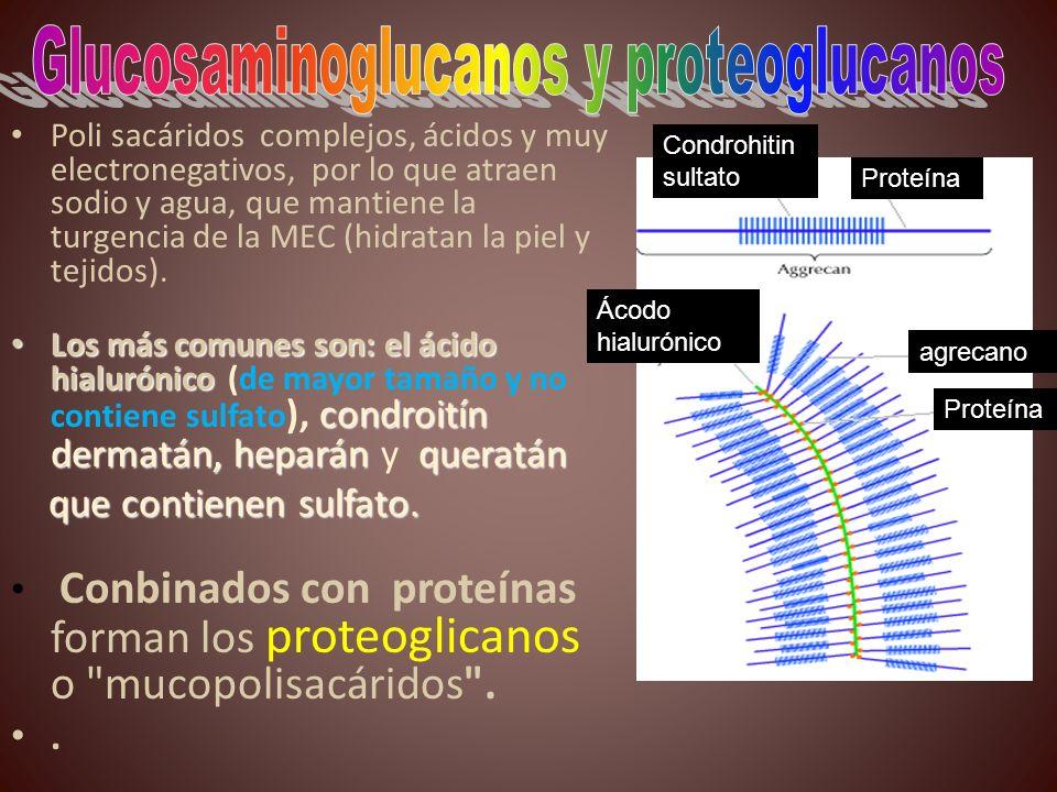 Glucosaminoglucanos y proteoglucanos