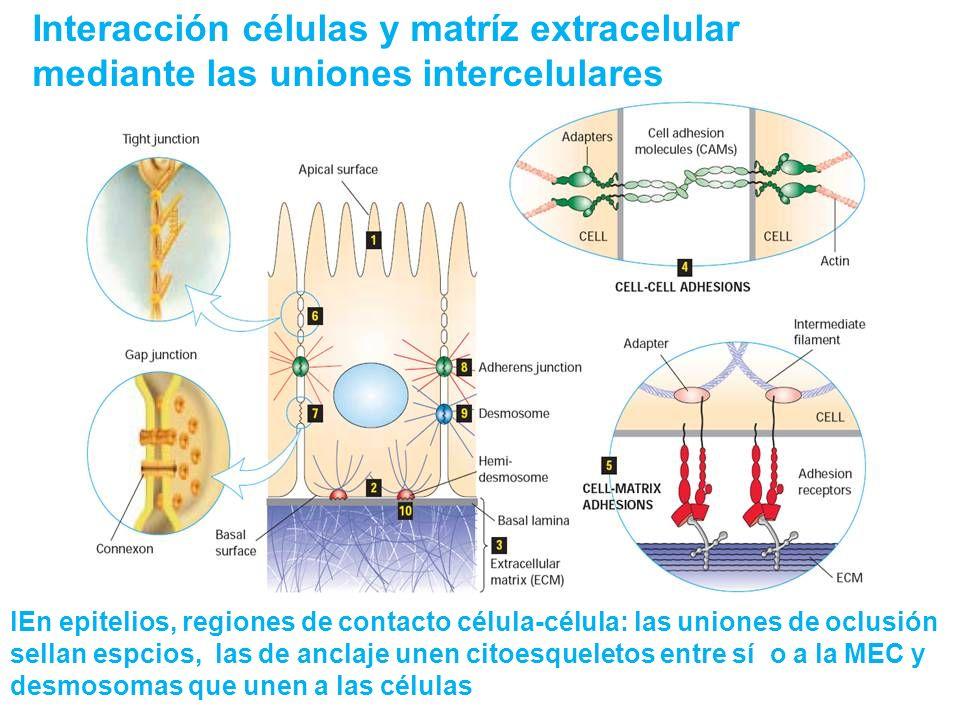 Interacción células y matríz extracelular mediante las uniones intercelulares